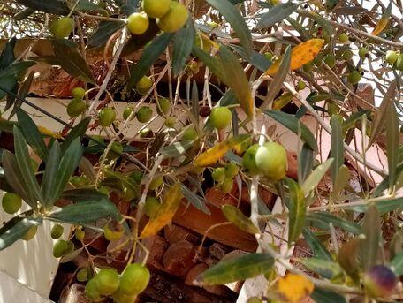 ADVICE MAIN IMAGE Désamériser les olives vertes