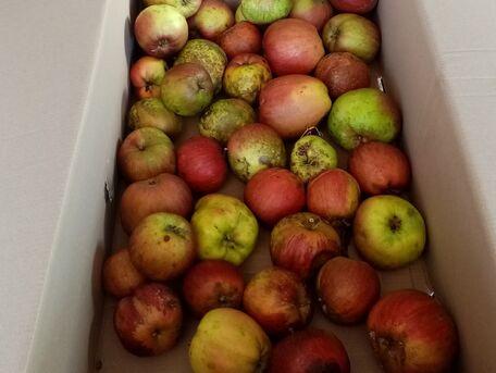 ADVICE MAIN IMAGE Trop de pommes !!!