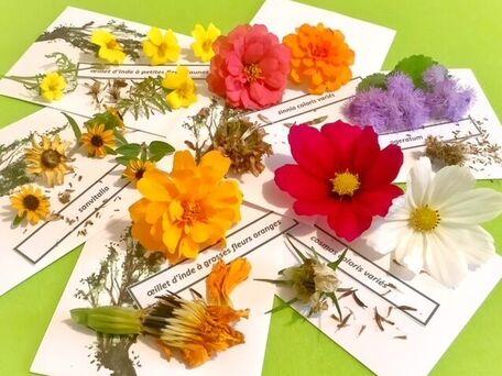 ADVICE MAIN IMAGE Récolter les graines de fleurs annuelles